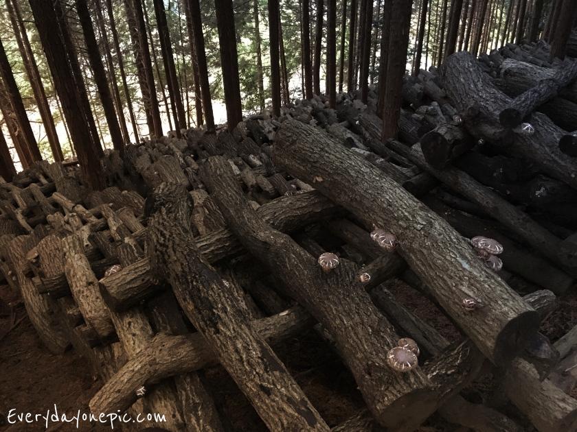 La champignonnière d'Asuka, sous les arbres