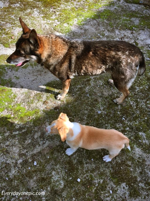 Les deux petits chiens qui gardent la maison